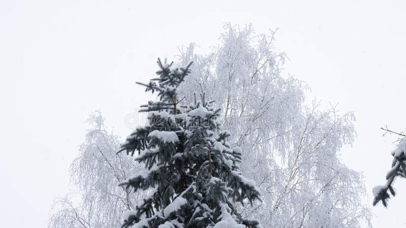 Spruce in the snow and birch in hoarfrost. Spruce in the snow and birch in hoarfrost on a background of gray sky royalty free stock images