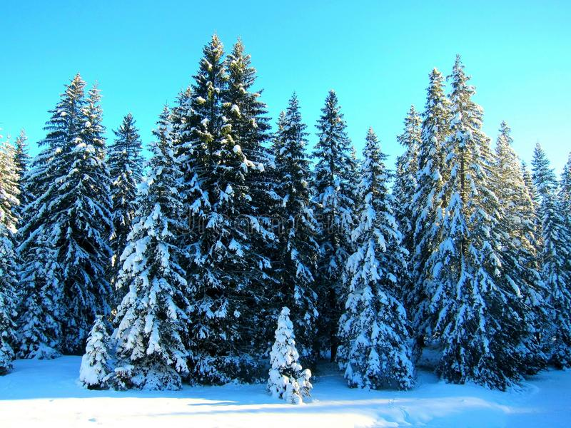 Spruce in the snow royalty free stock image