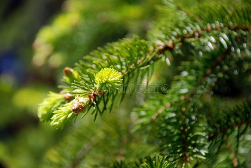 spruce sommar för sprig royaltyfri fotografi