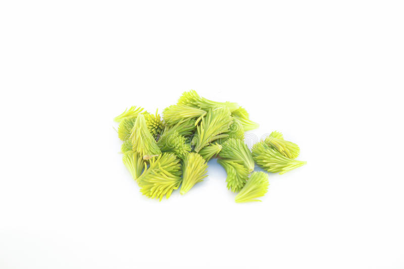 Spruce sprouts isolated stock photo