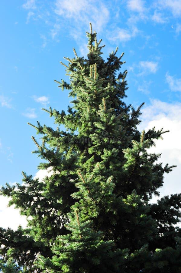 Spruce tree. On a blue sky stock image