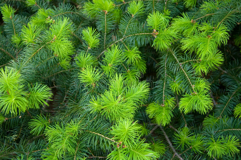 Download Spruce tree background stock image. Image of evergreen - 2629907