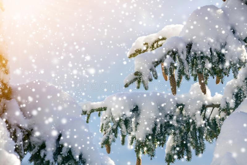 Spruce tree branch with green needles and cones covered with deep snow and hoarfrost and large snowflakes on blurred blue copy royalty free stock photography