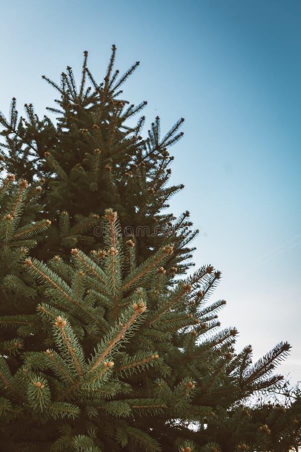 Spruce Tree Branch in Winter stock image