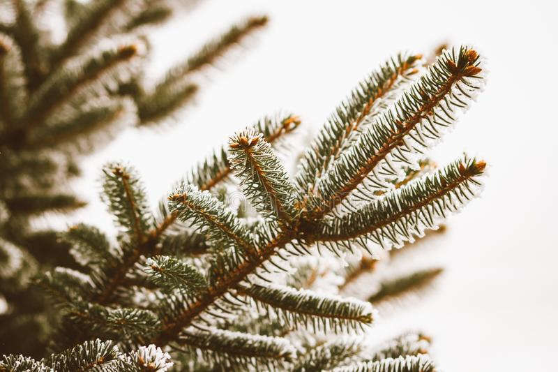 Spruce Tree Branch in Winter stock photos