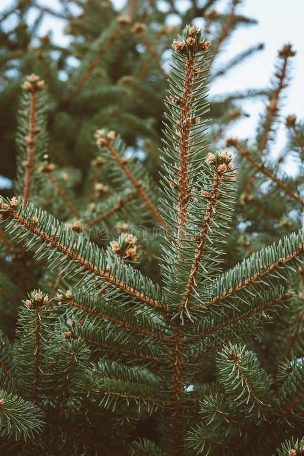 Spruce Tree Branch in Winter stock images
