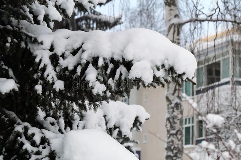 Winter Wonderland Spruce Tree from Lake Valkeinen, Kuopio, Finland. Spruce tree branches with plenty of heave snow on them and building behind. Photographed royalty free stock images