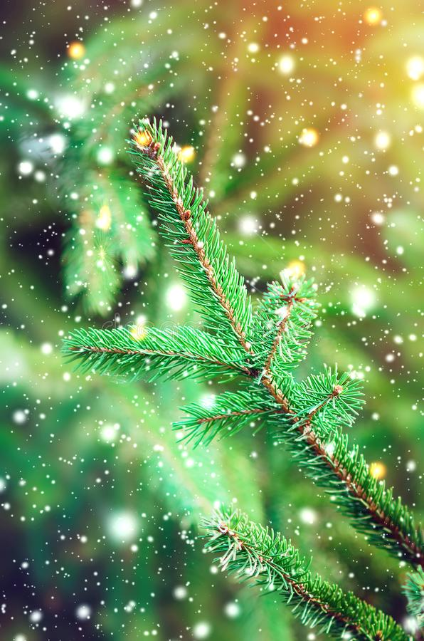 Spruce tree close-up. Christmas background royalty free stock images