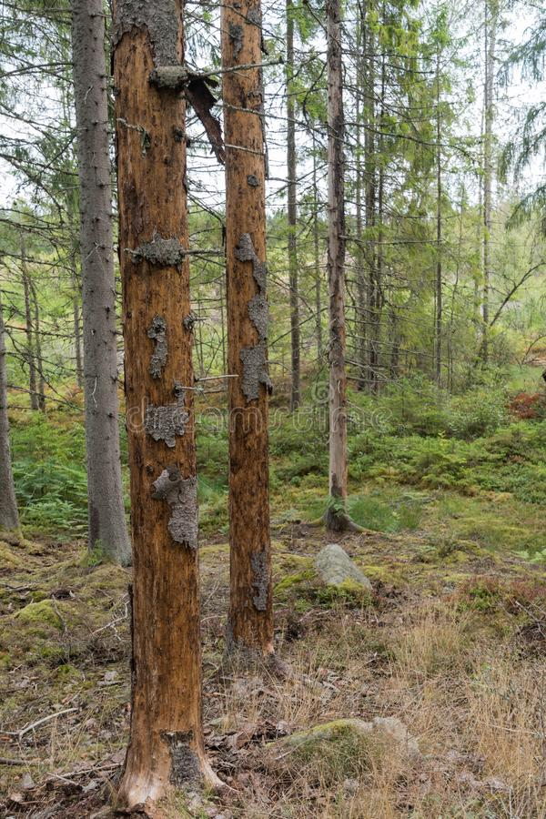 Spruce trees damaged by insects royalty free stock photography