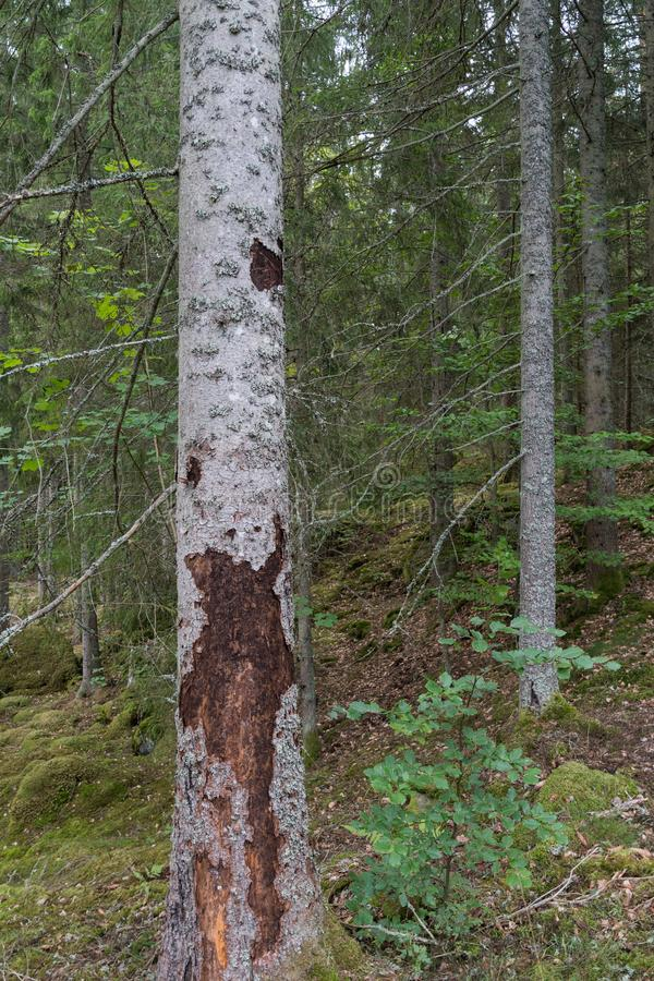 Spruce tree destroyed by insects royalty free stock images