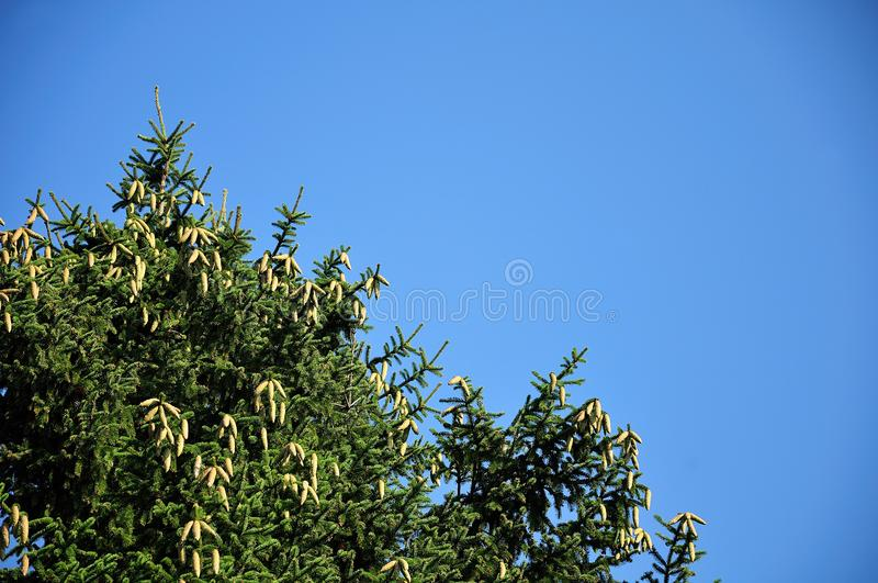 Spruce tree with fresh green cones royalty free stock image