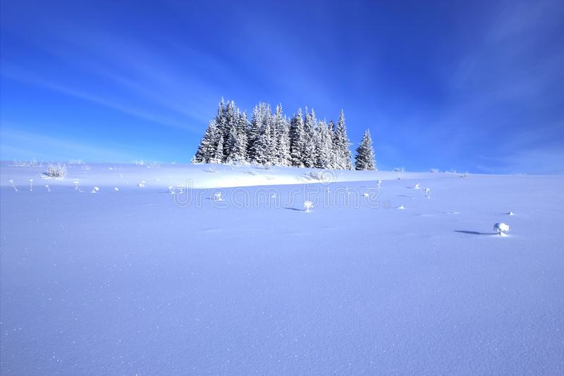 Download Spruce Tree Grove With Snow Stock Photo - Image: 23231968