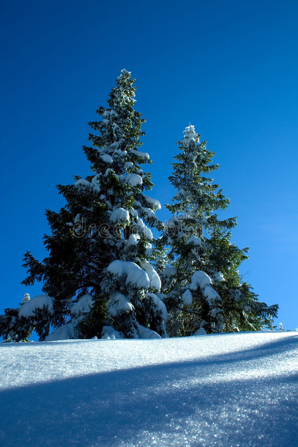 Free Spruce Tree, Trees On White Sn Royalty Free Stock Photo - 2113915