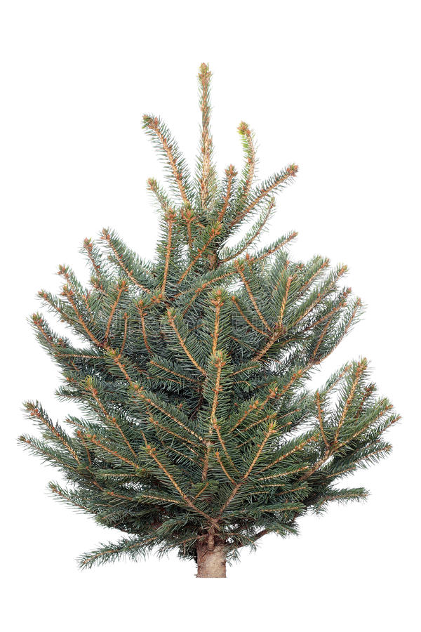 Spruce tree on a white background. Coniferous tree isolated on white background royalty free stock image