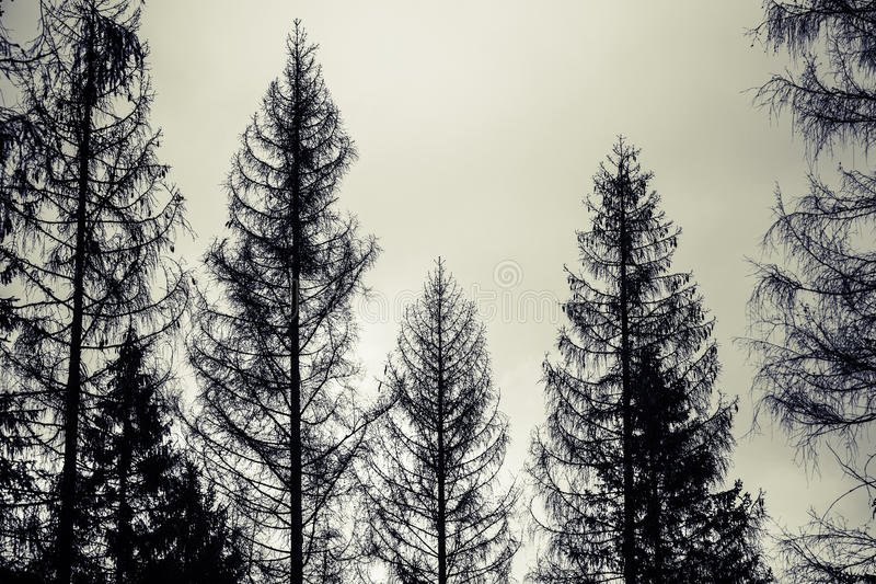 Spruce trees, black silhouettes over cloudy sky royalty free stock photos