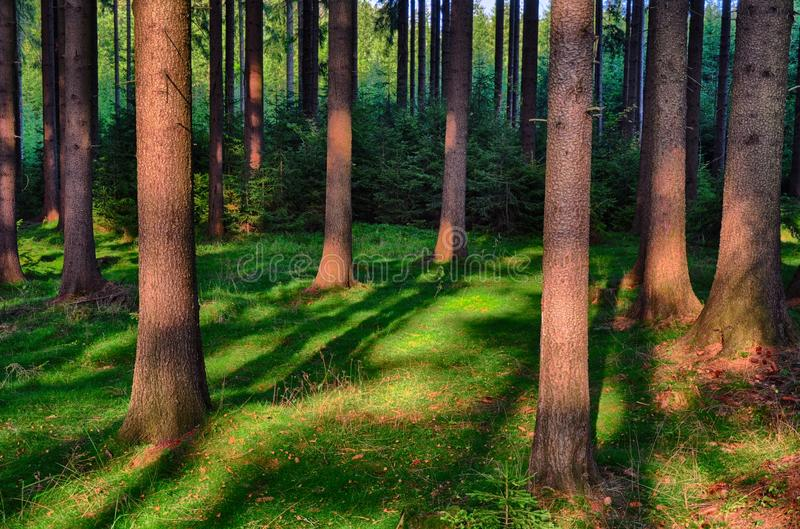 Spruce trees in the forest at daylight, sunlight, blue sky. Cuntryside landscape. Relaxing atmosphere. Moravian karst,Czech Repu. Spruce trees in the forest at royalty free stock photography