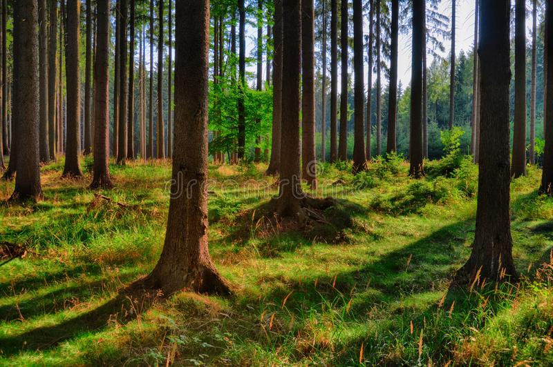 Spruce trees in the forest at daylight, sunlight, blue sky. Cuntryside landscape. Relaxing atmosphere. Moravian karst,Czech Repu. Spruce trees in the forest at stock images