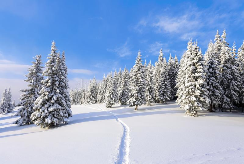 Spruce trees stand in snow swept mountain meadow under a blue winter sky. On the lawn covered with white snow. stock images