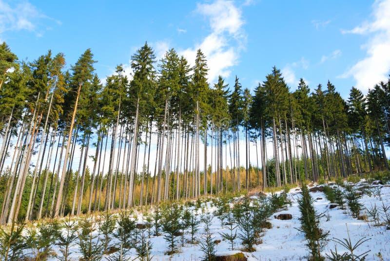 Spruce treesskog med spruce plantor i vinter royaltyfri foto