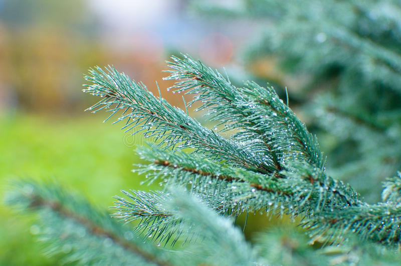 Download Spruce twig stock image. Image of foliage, small, ecology - 19628265