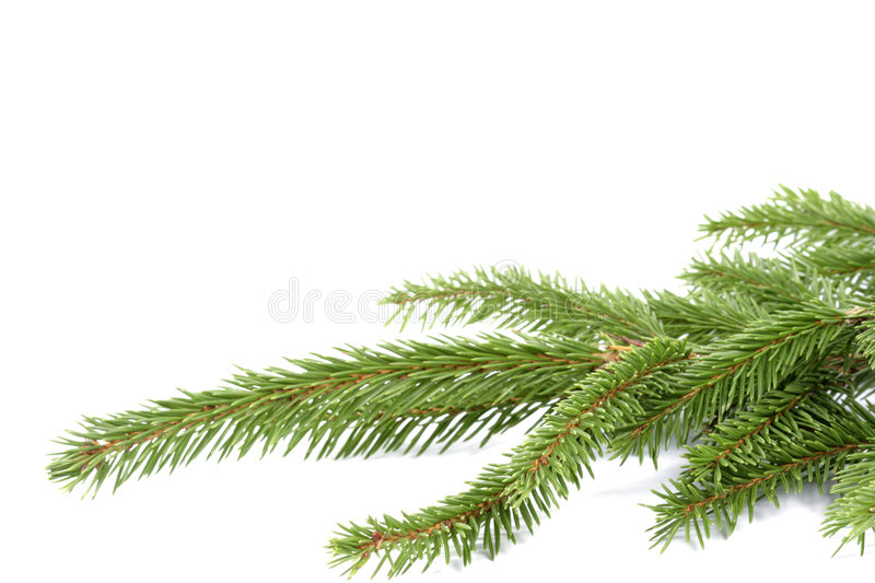 Spruce twigs stock images