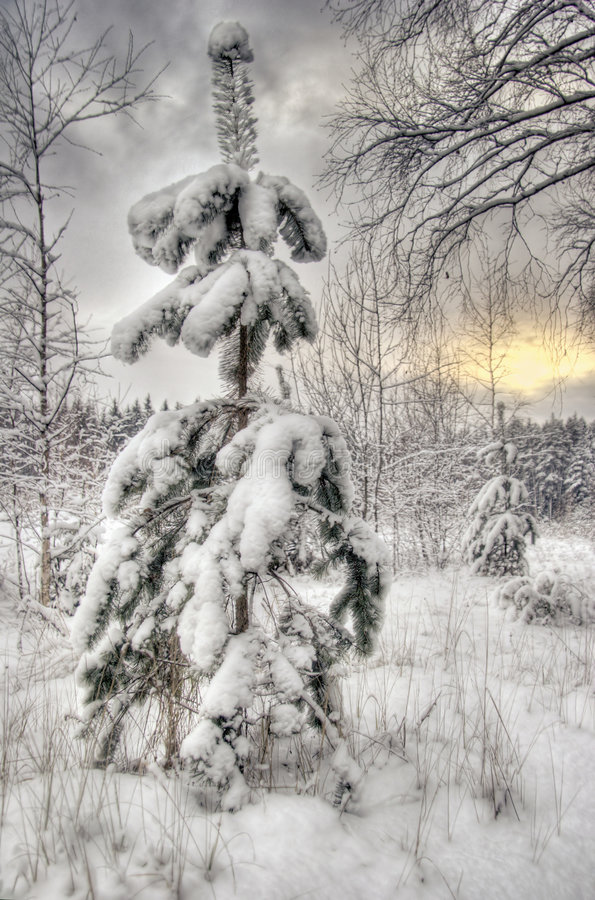 spruce vintern royaltyfria foton