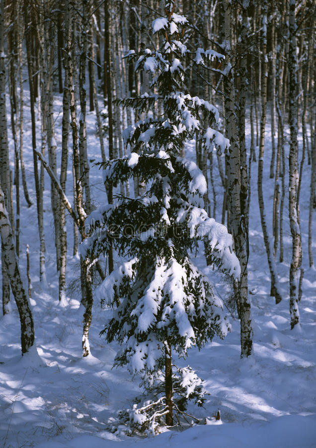 Download Spruce In Winter Birch Forest Stock Image - Image of atmosphere, outside: 18767705