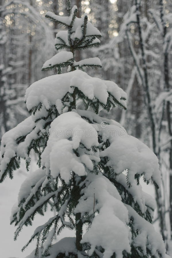 Spruce in the winter forest. Spruce in the snow in the winter forest stock photo