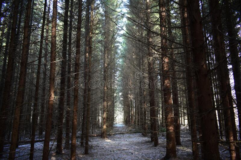Spruce woven alley, a smooth path that connects the forest with the Park. The branches of trees created a picturesque tunnel. Fallen branches on the ground royalty free stock image