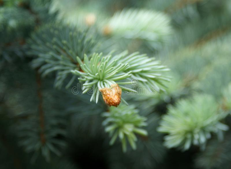 Spruce. Young shoots are released from the kidney scales. stock photo