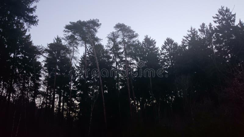 Spruceforest стоковые изображения rf