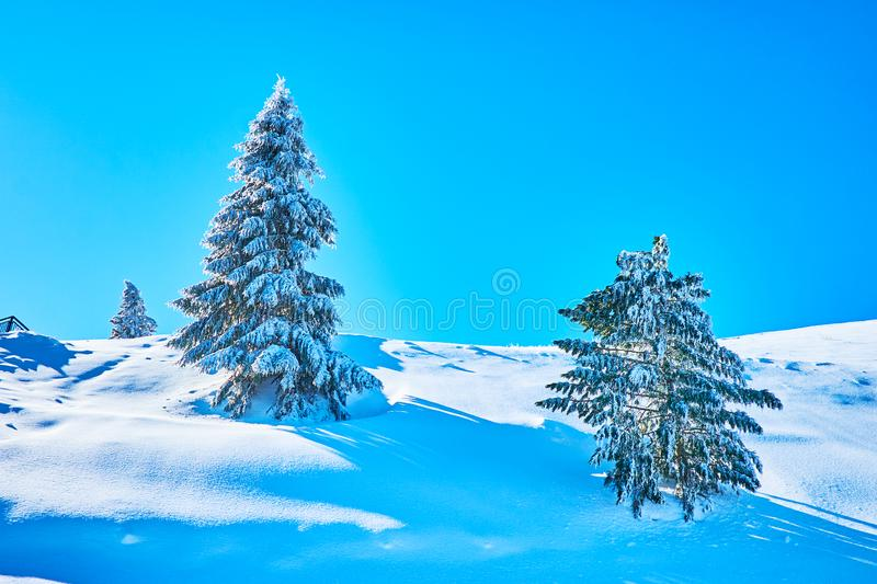 The spruces in hoarfrost, Zwolferhorn, St Gilden, Salzkammergut, Austria. The deep snowdrifts surround the spruce trees, coated with glaze ice and hoarfrost royalty free stock photo