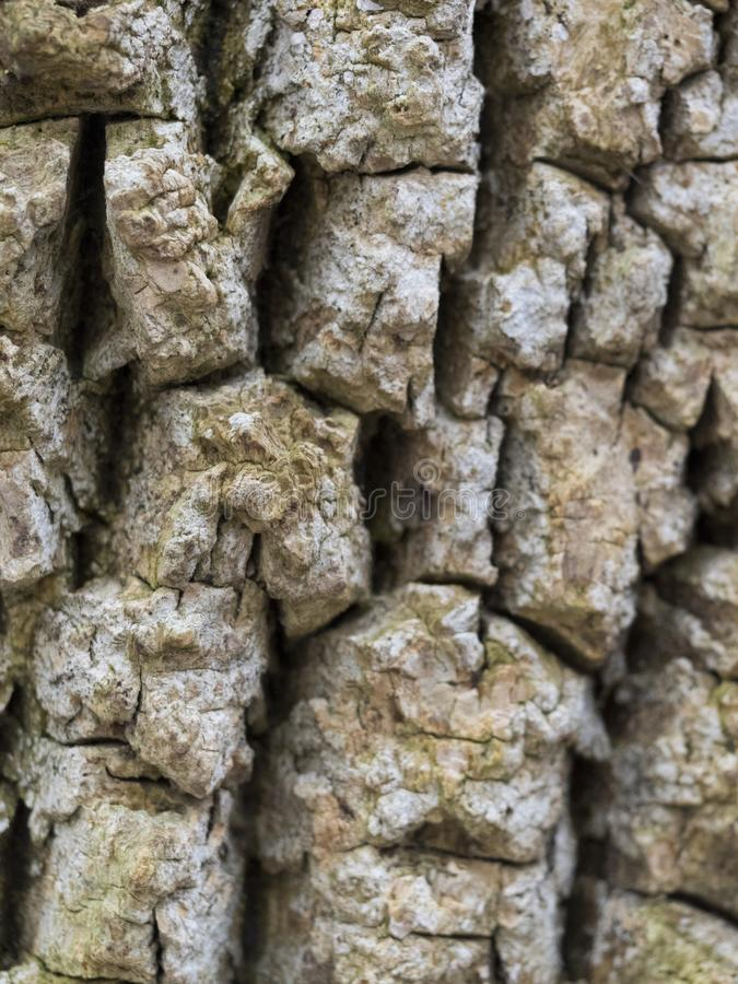 Sprucken trädtextur - royaltyfria bilder