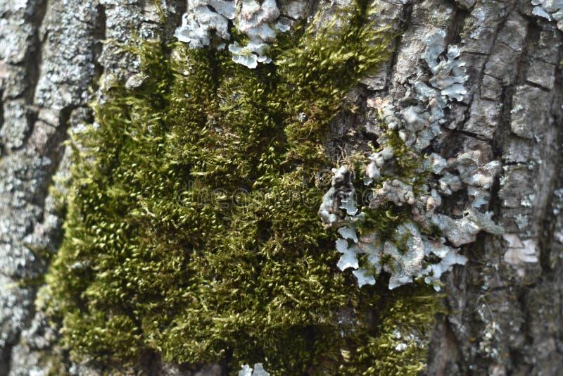 Sprucket skäll av det gamla trädet som är bevuxet med grön mossa i höstskog arkivbilder