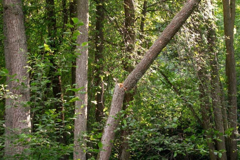 Sprucket träd efter storm royaltyfria foton