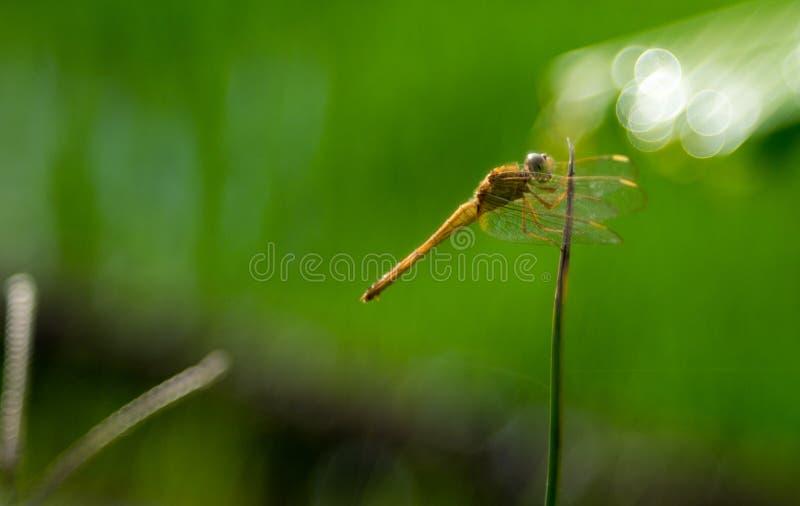 Sprudelndes Seifenblase bokeh gelbe Libelle lizenzfreie stockbilder
