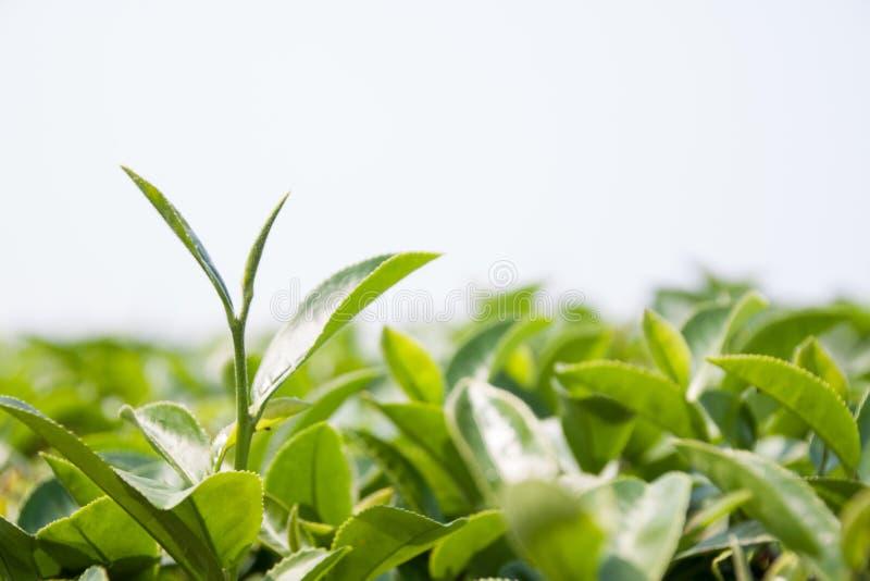 Spruit en groep groene theebladen op witte achtergrond royalty-vrije stock foto