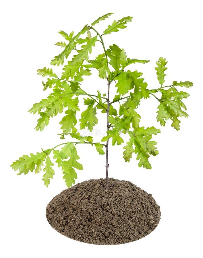 Spruit van de Europese eiken boom royalty-vrije stock afbeelding