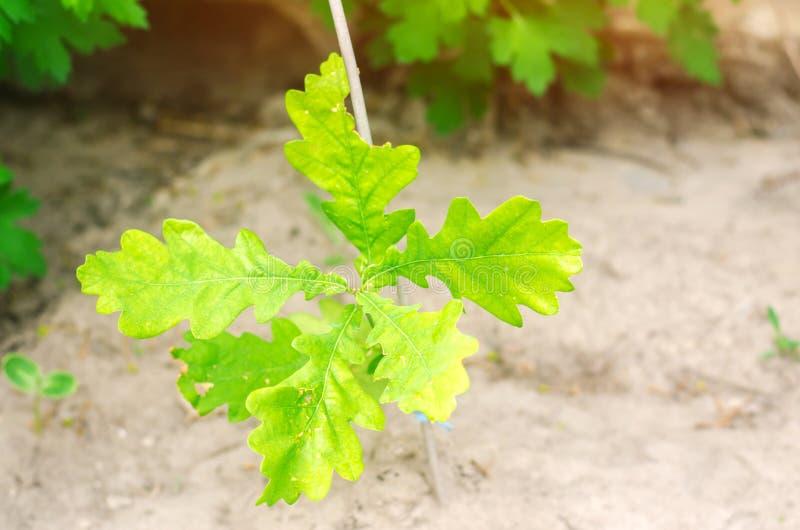 Spruit van jonge eik jonge bos beschadigde installatie door insecten groene Bladeren Boomeik in het grondsubstraat dat wordt gepl stock foto's
