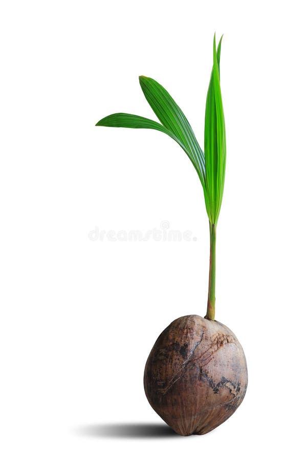 Spruit van kokospalm op wit met het knippen van weg wordt geïsoleerd die royalty-vrije stock afbeeldingen
