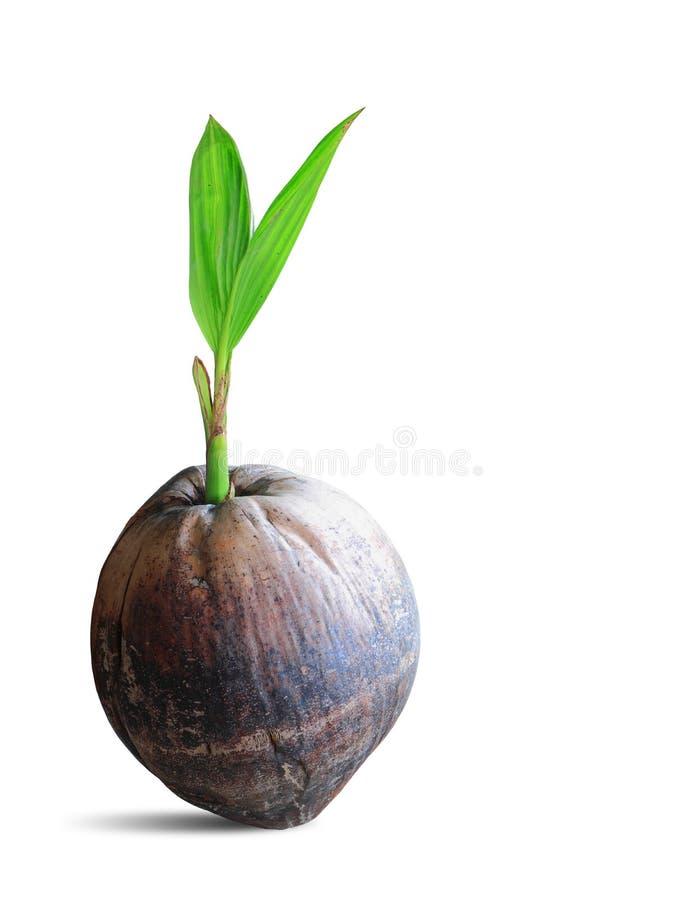 Spruit van kokospalm op wit met het knippen van weg wordt geïsoleerd die stock fotografie