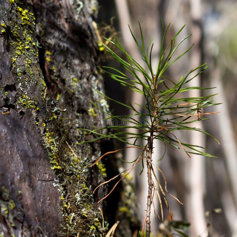 Spruit van Siberische pijnboom dichtbij de grote boom, close-up Het landschap van de ecologieaard stock afbeelding