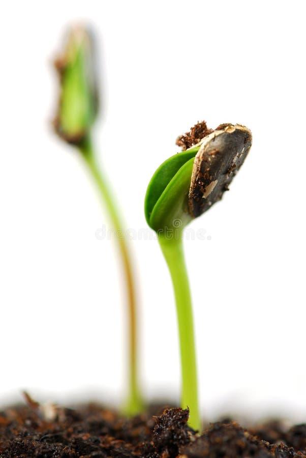 Spruiten stock afbeelding