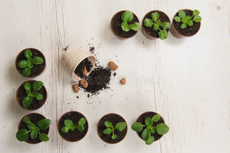Spruiten binneninstallaties in potten stock foto