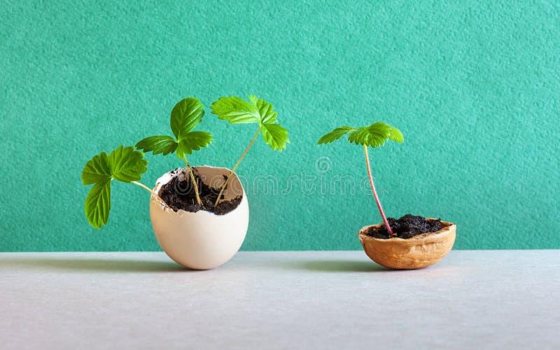 Spruiten in een eierschaal en okkernootshell Nieuw het levensconcept van Pasen De jonge aardbeitwijgen braken de muren van het ei stock foto's
