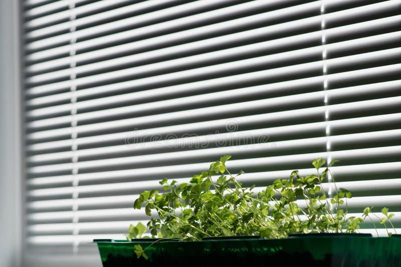 Spruiten op venster stock afbeelding