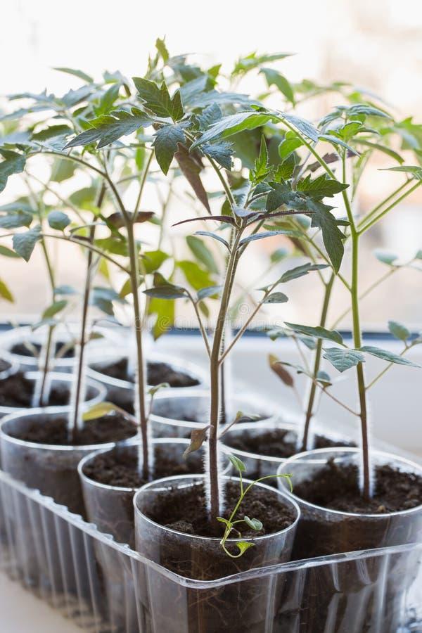 Spruiten van een tomaat in plastic koppen op de venstervensterbank stock foto