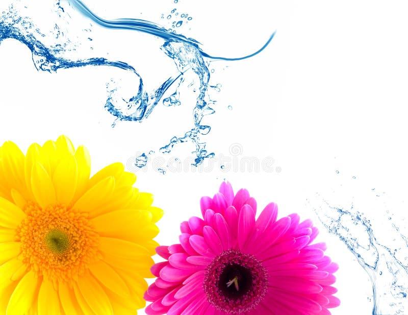 Spruzzata del Gerbera e dell'acqua del fiore fotografia stock libera da diritti