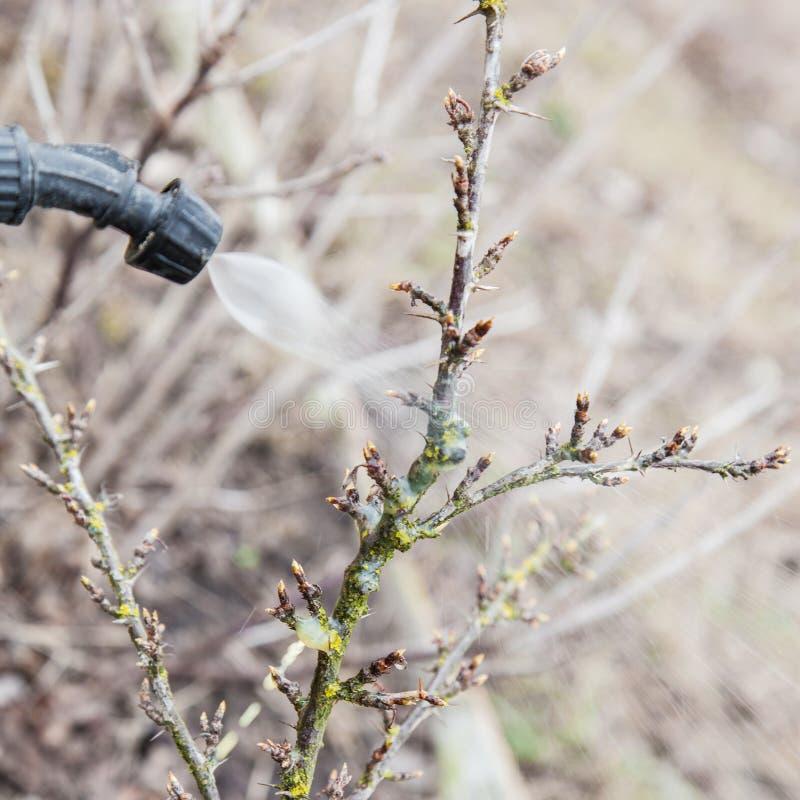 Spruzzatura dell'uva spina con il fungicida fotografia stock