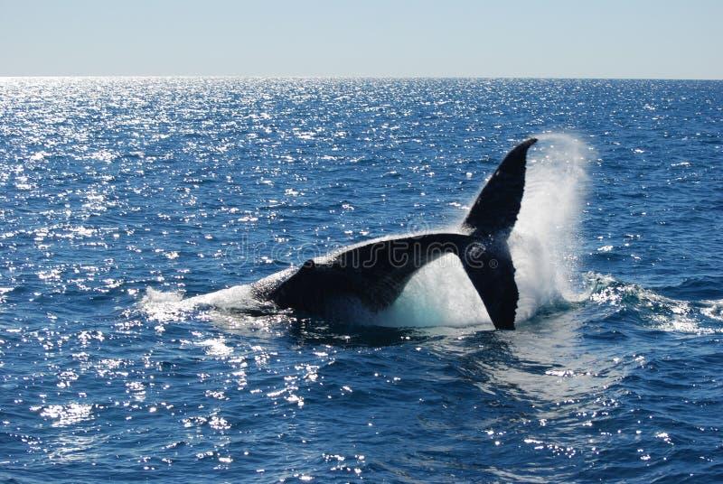 Spruzzatura della balena di Humpback immagini stock libere da diritti